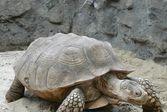 Пазл черепаха